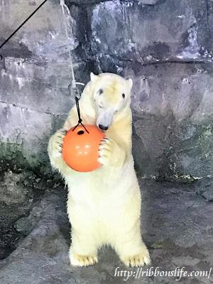 八景島シーパラダイスのホッキョクグマ