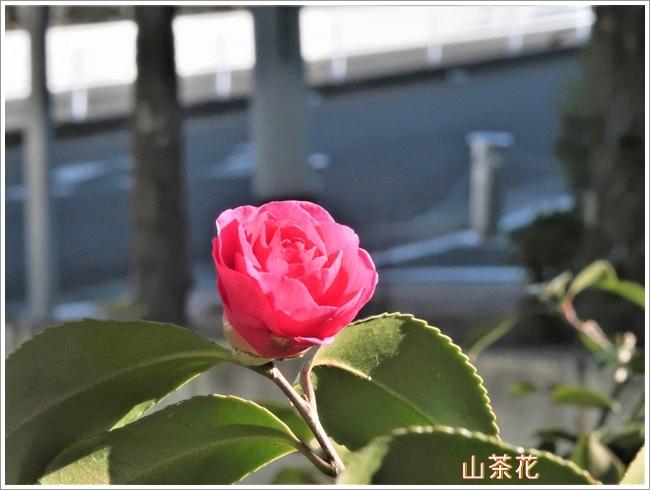 I640MG_3263山茶花