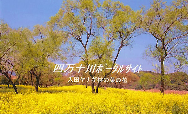 入田ヤナギ林の菜の花