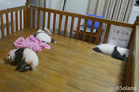 成都パンダ基地、赤ちゃんパンダ達!