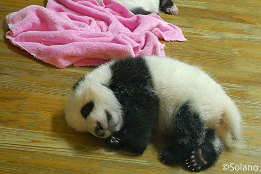 成都パンダ基地、ぐっすり眠る赤ちゃんパンダ