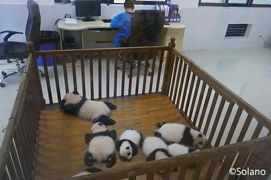 成都パンダ基地、赤ちゃんパンダがいっぱい!!