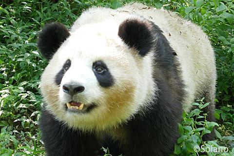 おやつを欲しがり寄って来る子パンダ