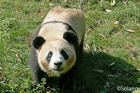 餌をほしがる子パンダ