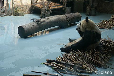 屋内獣舎で竹を食べる子パンダ