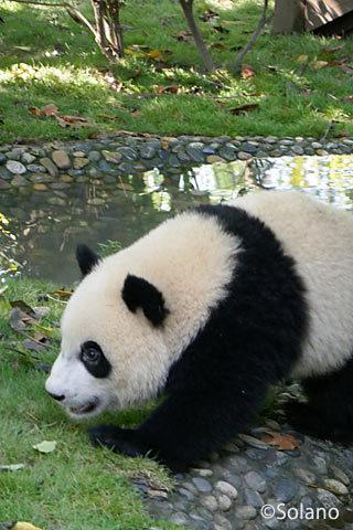 成都パンダ基地、池のほとりを歩く子パンダ