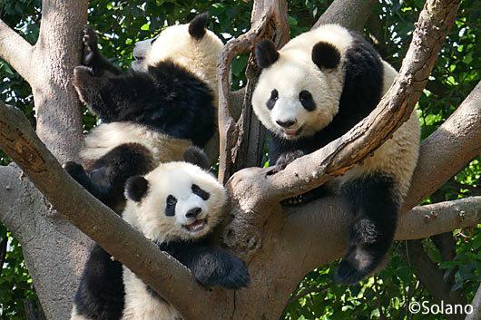 成都パンダ基地、木の上でくつろぐ子供パンダ