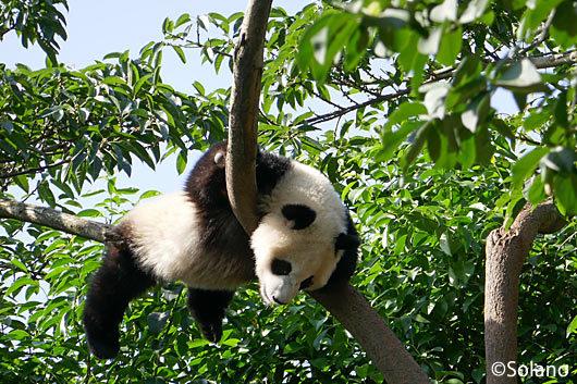 成都パンダ基地、地上10mの木の枝に居る子パンダ