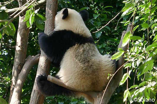 成都パンダ基地、枝渡りする子供パンダ
