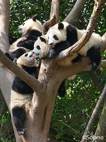 成都パンダ基地、木の上でじゃれあう4匹の子供パンダ