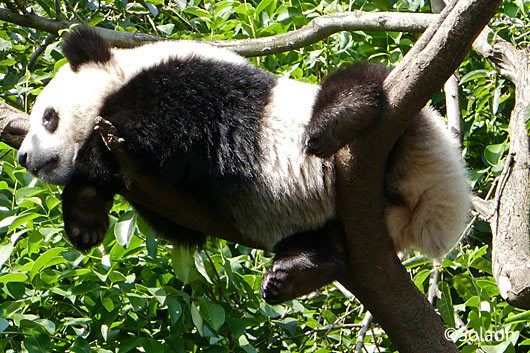 木の上で昼寝する子供パンダ