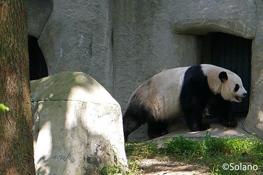 野外展示施設の大人パンダ