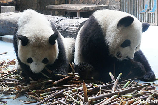 成都パンダ基地、仲良く竹を食べるパンダ