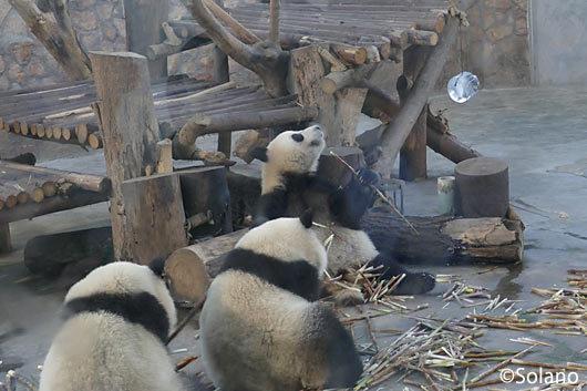 成都パンダ基地、屋内獣舎の大人パンダ