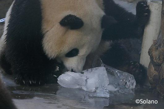 氷の塊を叩き落し食べるパンダ