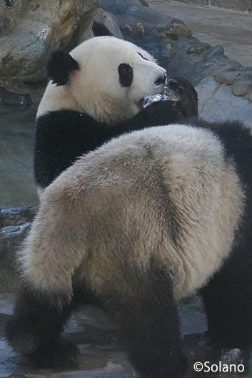 成都パンダ基地、氷を食べるパンダ
