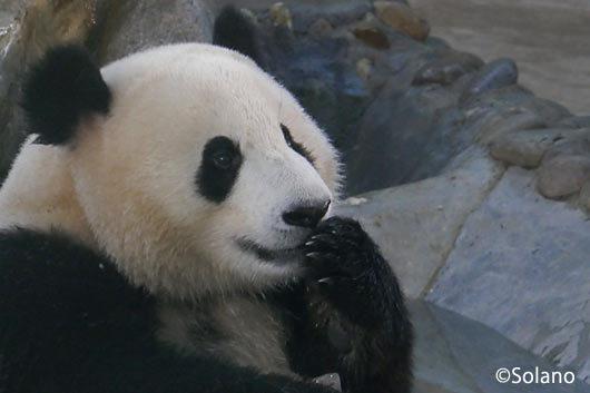 氷が美味しい!満足の表情を浮かべるパンダ