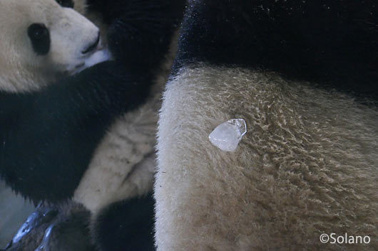 背中に氷が付いたパンダ