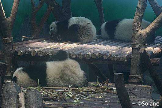屋内獣舎でお昼ねするパンダ達