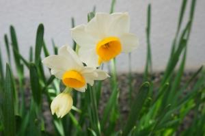 水仙開花3