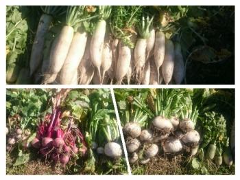 50171116大根の収穫