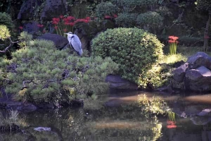 Grey Heron and Spider Lilies