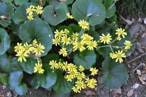 Tsuwabuki Flowers