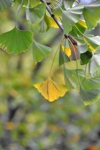 Yellowed Gikgo Leaf