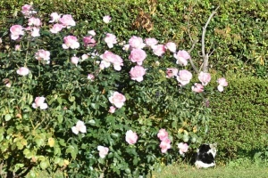 Roses and Junko The Cat