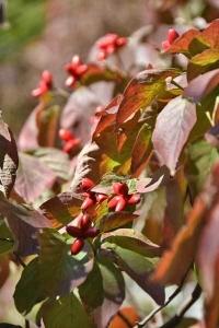 Dogwood Leaves and Seeds