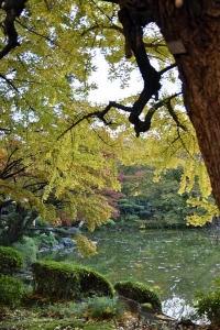 Autumn Ginkgo Tree