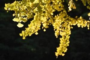 Golden Ginkgo Leaves