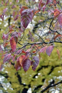 Dogwood Leaves against Ginkgo Tree