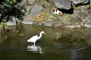 Mii The Cat and Great Egret