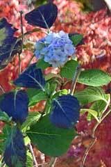 Hydrangra December