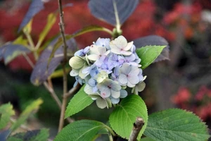 Hydrangea out of season