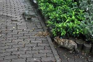 Bangkok Cat and Monitor Lizard