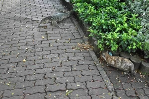 Bangkok Cat and Monitor Lizard