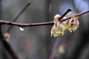 Wintersweet in the rain