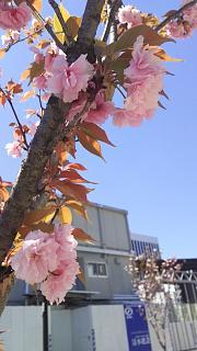 20170423桜(その1)