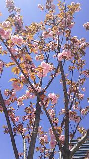 20170423桜(その2)