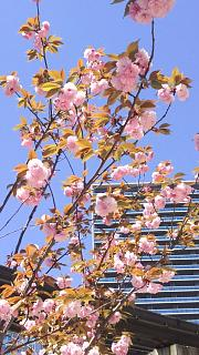 20170423桜(その5)