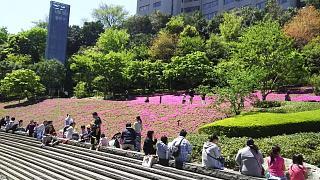 20170423芝桜(その1)
