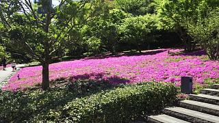 20170423芝桜(その2)