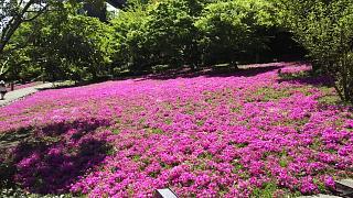 20170423芝桜(その3)