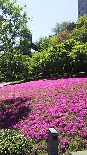 20170423芝桜(その4)