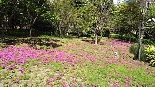 20170423芝桜(その7)