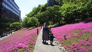 20170423芝桜(その10)