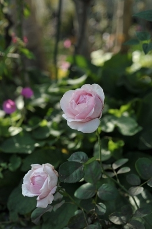 rose20171103-1.jpg