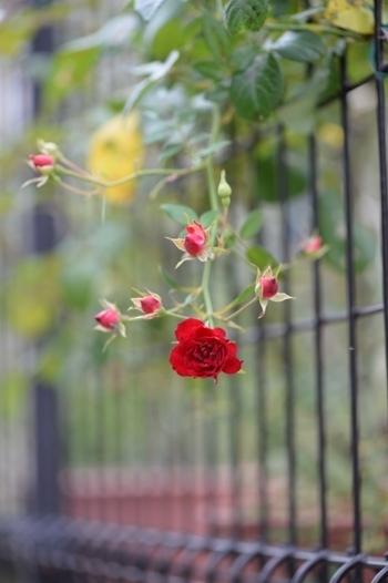 rose20171107-1.jpg